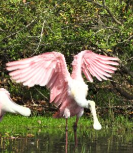 Roseate Spoonbill ready to fly